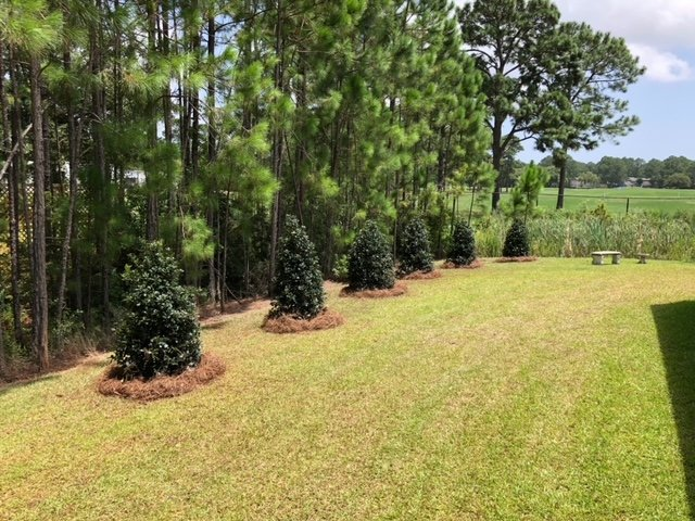 Trees planted with pine straw base by DC Lawn & Landscape in Fairhope, AL