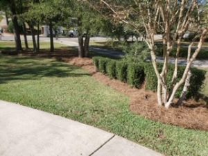 Shrubs in the center of a pine straw bed by DC Lawn & Landscape in Fairhope, AL