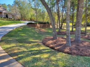 Pine straw circle with 3 trees by DC Lawn & Landscape in Fairhope, AL
