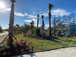 Palm trees installed at the beach by DC Lawn & Landscape in Fairhope, AL