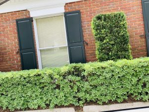 shrubs done by dc lawn and landscape in fairhope, alabama