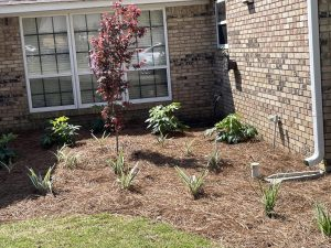 pine straw bed with shrubs done by DC Lawn and Landscape in Fairhope, Alabama